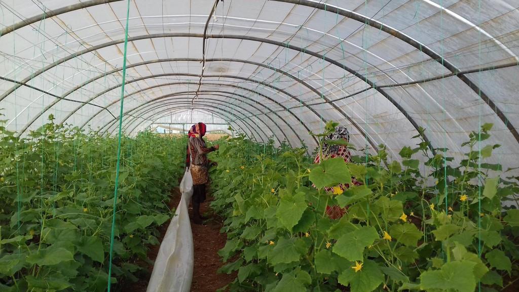 Pflanzenpflege Rojava Gewächshaus